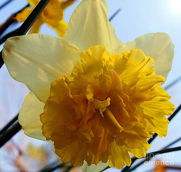 Spring Daffodils by Kim Pate