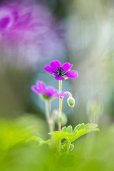 Spring Geranium by Sarah-fiona  Helme