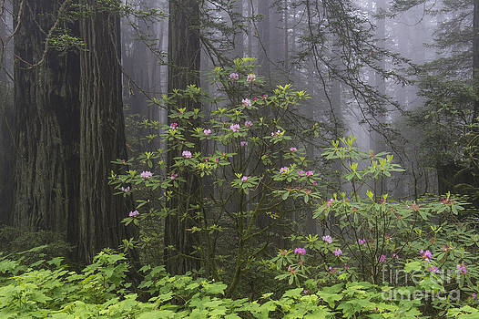 Sandra Bronstein - Spring In The Redwood National Park