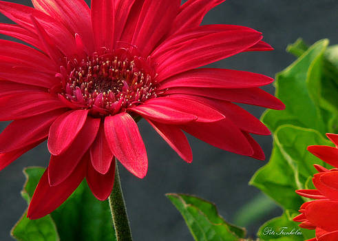 Spring Red by Pete Trenholm