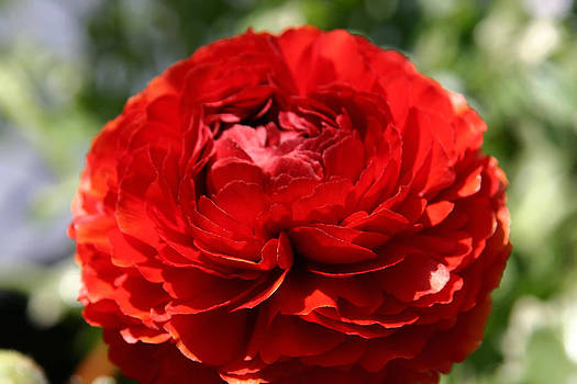 Spring Scarlet Double Begonia by Denyse Duhaime