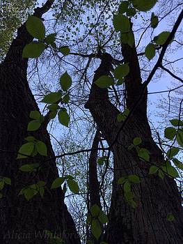 Spring Tree by Alicia Whiteford