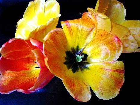 Spring Tulips Xx by Judyann Matthews