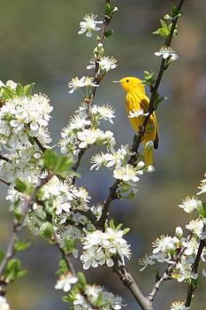 Spring Warbler by Jody Neugebauer