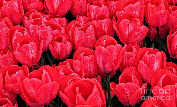 Spring's Red Tulips by Brian Mollenkopf
