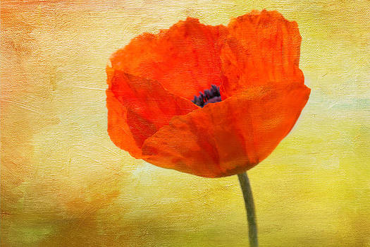 Springtime Poppy Beauty by Denyse Duhaime