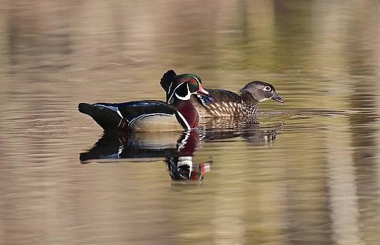 Springtime Wood Duck Pair by John Dart