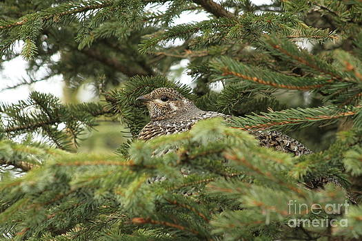 Spruce Hen by Rick  Monyahan
