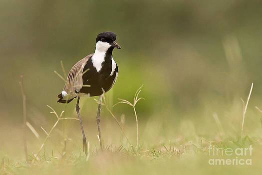 Spur-winged Lapwing by Jean-Luc Baron