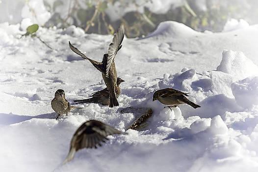 Lynn Palmer - Squabbling Sparrows