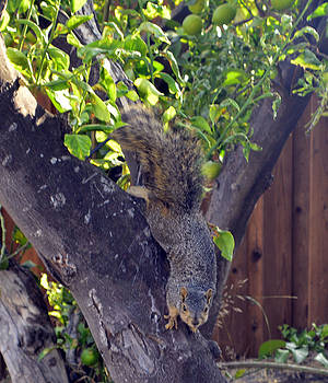 Cindy Nunn - Squirrel 4