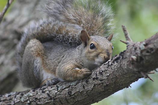 Squirrel by Carlynne Hershberger