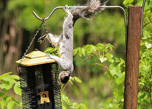 Paulette Thomas - Squirrel Climbing a Bird Feeder