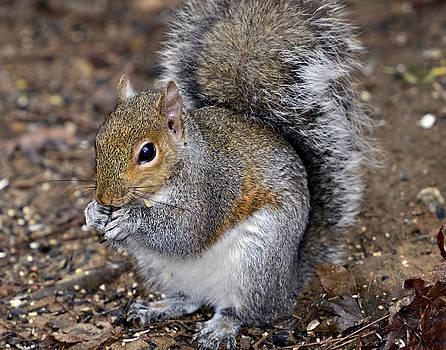 Squirrel Eating Sunflower Seed by Susan Leggett