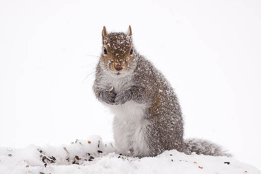 Squirrel In Snow by Marty Maynard