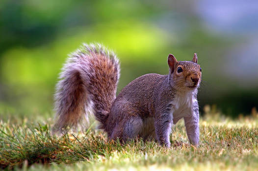 Squirrel on grass by William Lee
