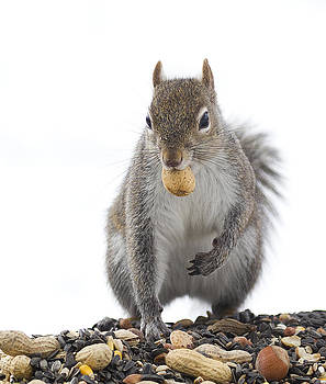 Squirrel With Nut by Marty Maynard