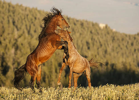 Stallion Battle at Sunset by Amy Gerber