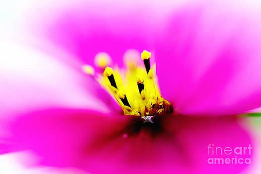 Nick  Biemans - Stamens of the Aster flower