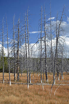 Standing Tall Along Yellowstone's Firehole Lake Drive by Bruce Gourley