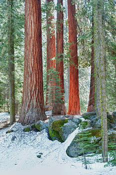 Sandra Bronstein - Standing Tall - Sequoia National Park