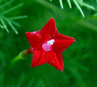 Star Glory by Kim Pate