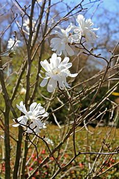 Star Magnolias by Felix Zapata