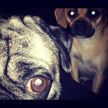 Staring Pugs by Shahin Shaygan