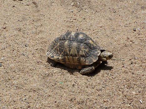Starred Tortoir by Sunanda Yapa