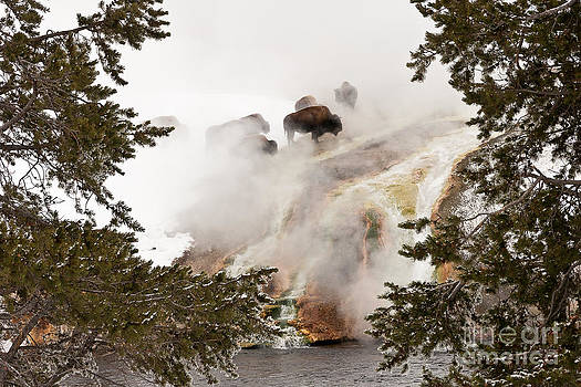 Steamy Bison by Sue Smith