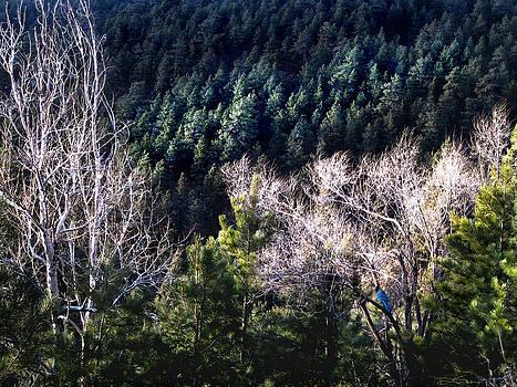 Steller's Jay Near Greyrock Mountain Colorado by Ric Soulen