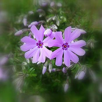 Sticky Phlox by Nick Kloepping