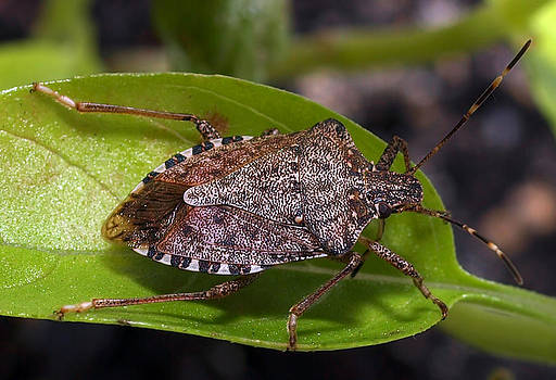 Stink Bug by Robert Gaughan