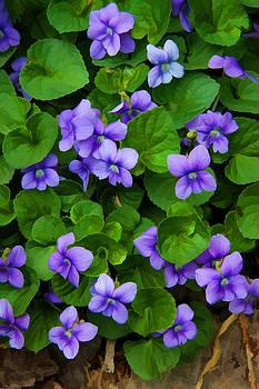 Stone Valley Violets by James Bullard