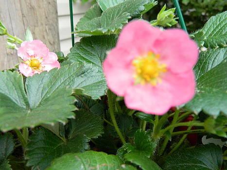 Strawberry Bloom by Linda Brown