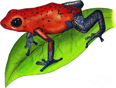 Roger Hall - Strawberry Poison-dart Frog