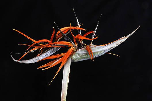 Strelitzia reginae by Henrique Souto