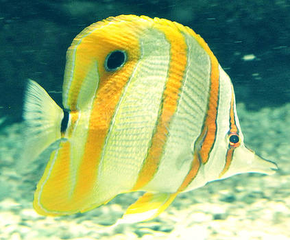 Striped Fish by Amber Davenport