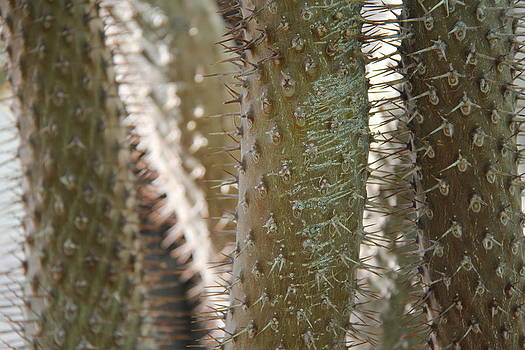 Studies on Cacti #1 by Sue  Thomson