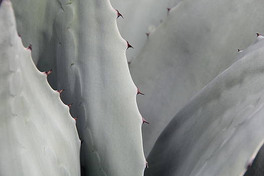 Studies on Cacti #3 by Sue  Thomson