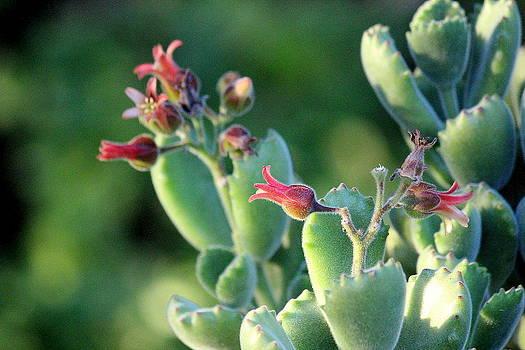 Rosanne Jordan - Succulents #7