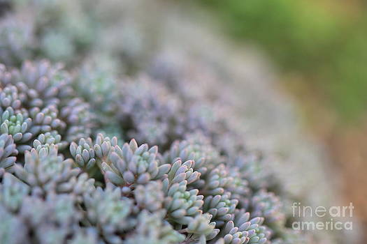 Succulents by Angelina W