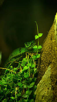 Sumatran Pit Viper by Michael Rigamer