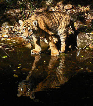 Margaret Saheed - Sumatran Tiger Cub Reflection