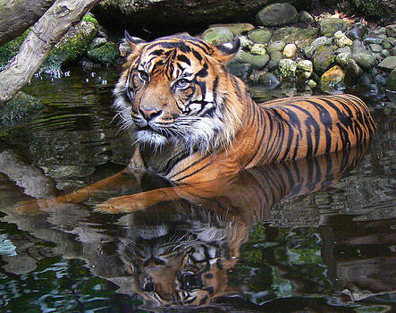 Margaret Saheed - Sumatran Tiger Keeping Cool In Summer