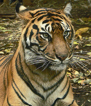 Margaret Saheed - Sumatran Tiger Mother Watching Cubs