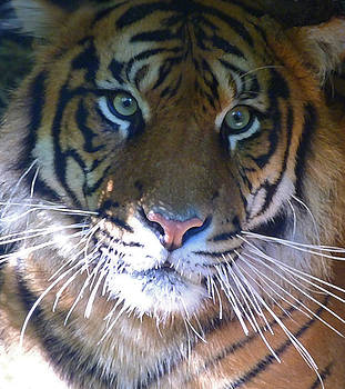 Margaret Saheed - Sumatran Tiger Whiskers