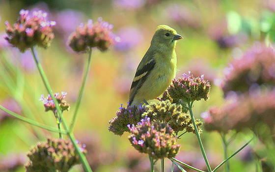 Rosanne Jordan - Summer Goldfinch in the Garden