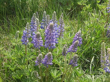 Summer Lupines by Crystal Miller