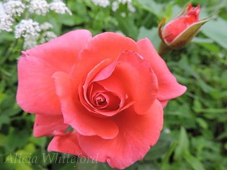 Summer Rose  by Alicia Whiteford
